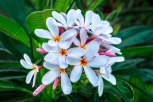 flower, nature, photograph, white, Plumeria, tropical, floral