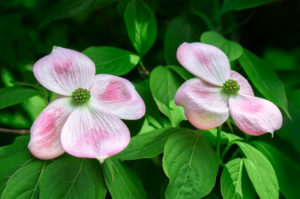 Dogwood, tree, flower, pink, green, nature, blossom