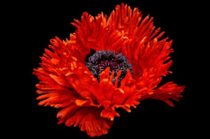 red, poppy, bold, color, flower, contemporary, black, nature