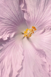 flower, nature, photograph, pink, Hibiscus, tropical, floral