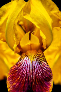 flower, nature, photograph, iris, bearded, yellow, floral