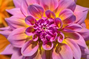 flower, nature, photograph, pink, Dahlia, floral