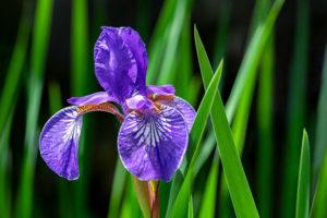 flower, nature, photograph, purple, Siberian, Iris, floral