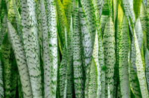 botanical, abstract, green, leaf, pattern, photograph, nature, Mother-in-law's Tongue, Snakeplant